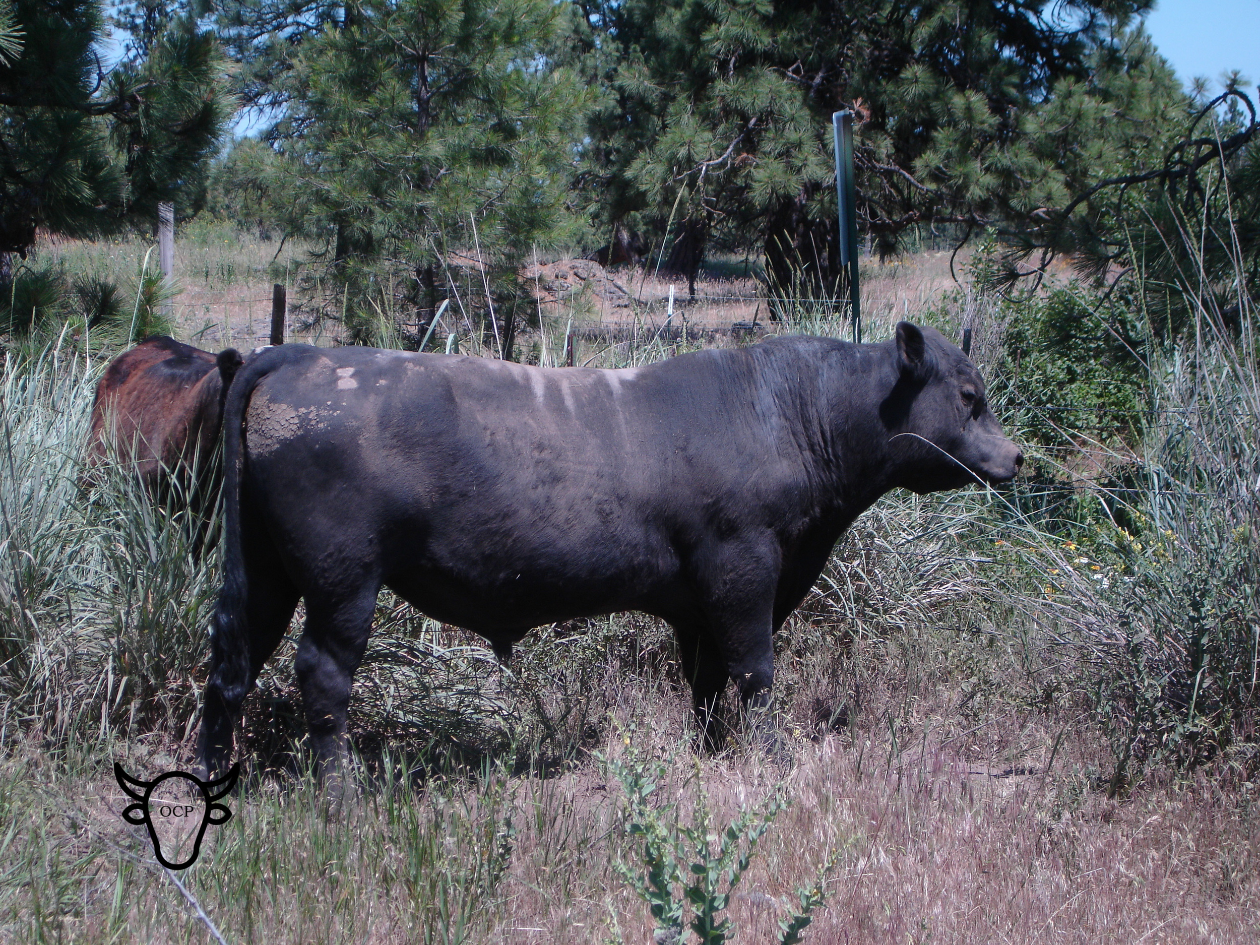 Noble, BK 0100 Confidence, and grandson of the great Conneally Confidence, is a gentle giant. His heifers in our herd have proven fertile and are great mothers. He is still working for commercial herds. -