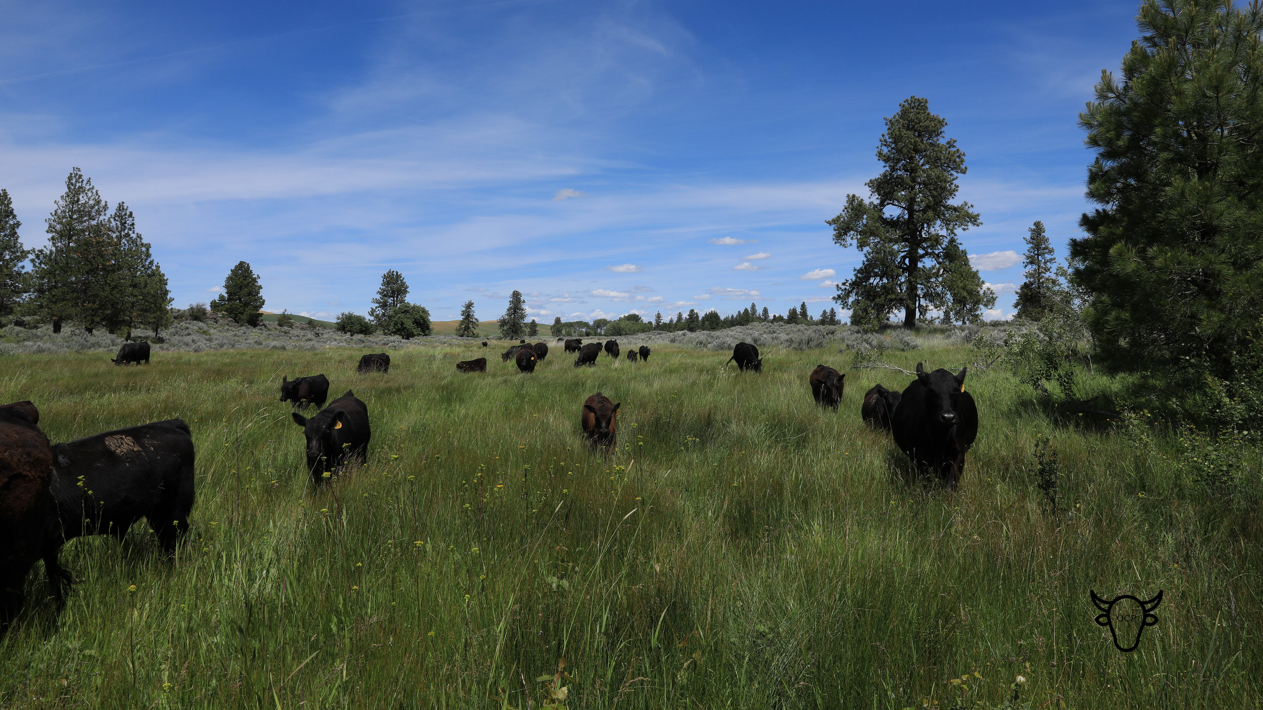 Our cows summer in some beautiful places.  Calves learn to stay with the herd, find water and shelter and avoid predators.  They also get used to trailing over rough and rocky terrain.
