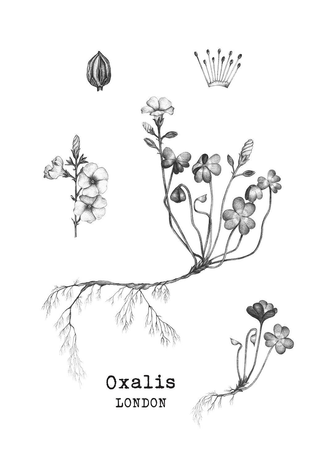 A5 page of botanicals drawn for a new restaurant  Oxalis London .