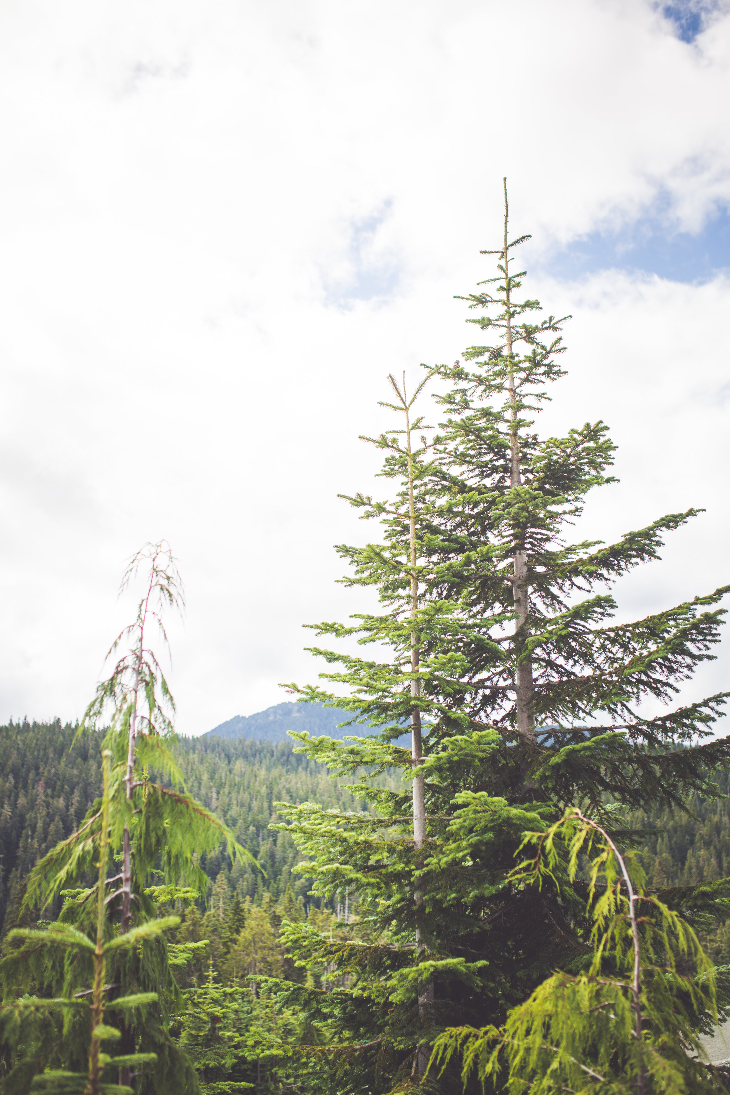 cedar trees at mount washington resort
