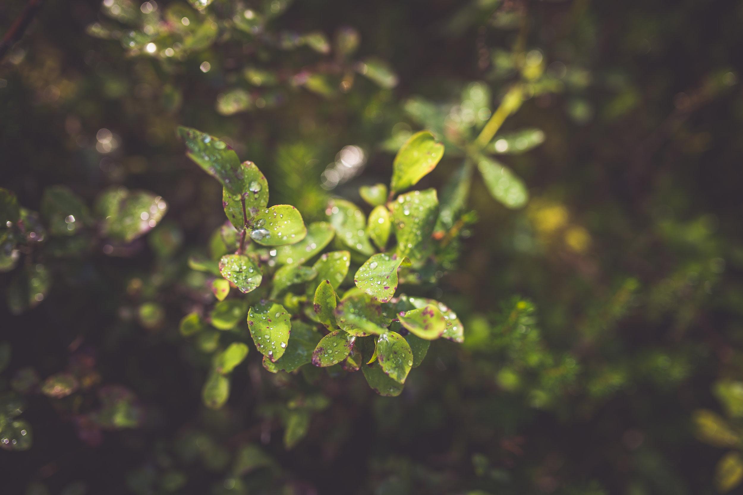raindrops on foliage at mount washington