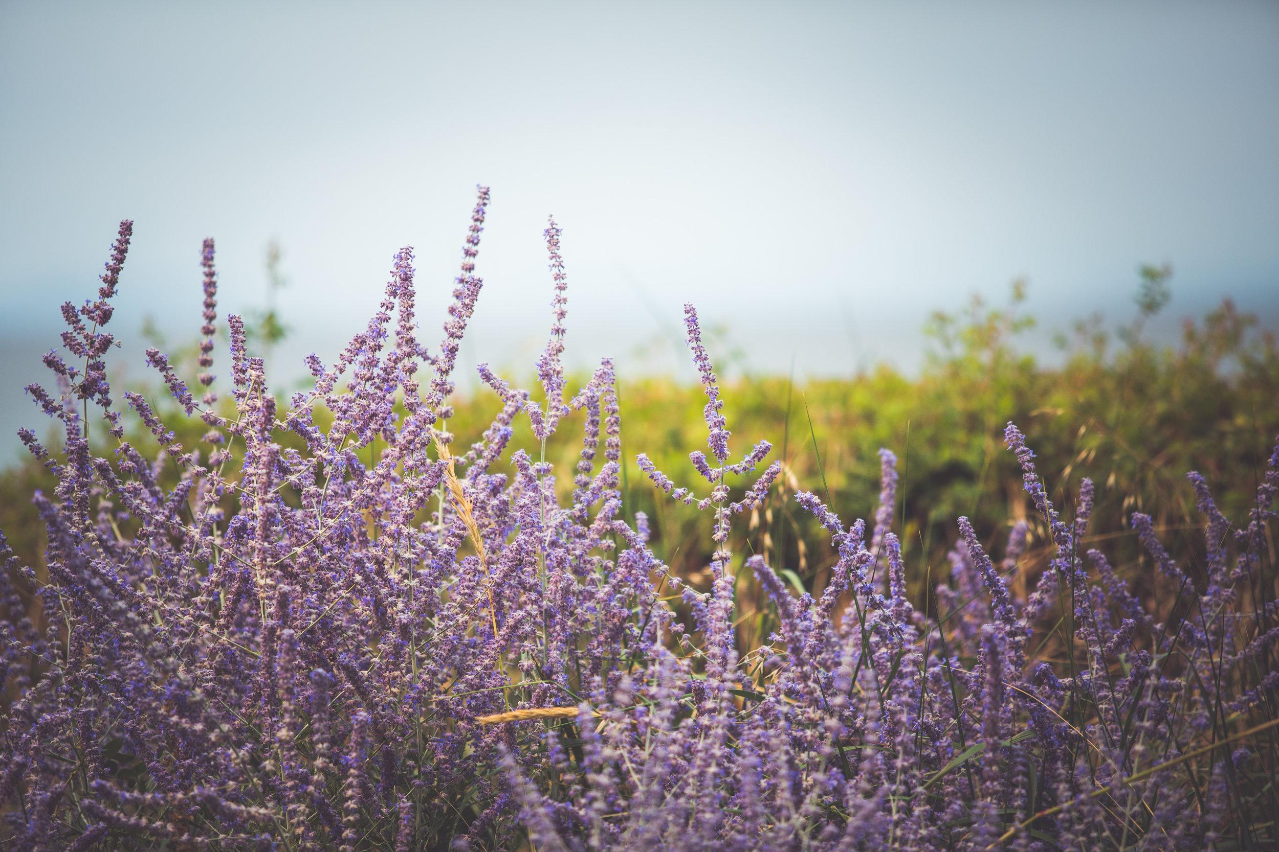 lavender in bloom in Qualicum Beach backyard