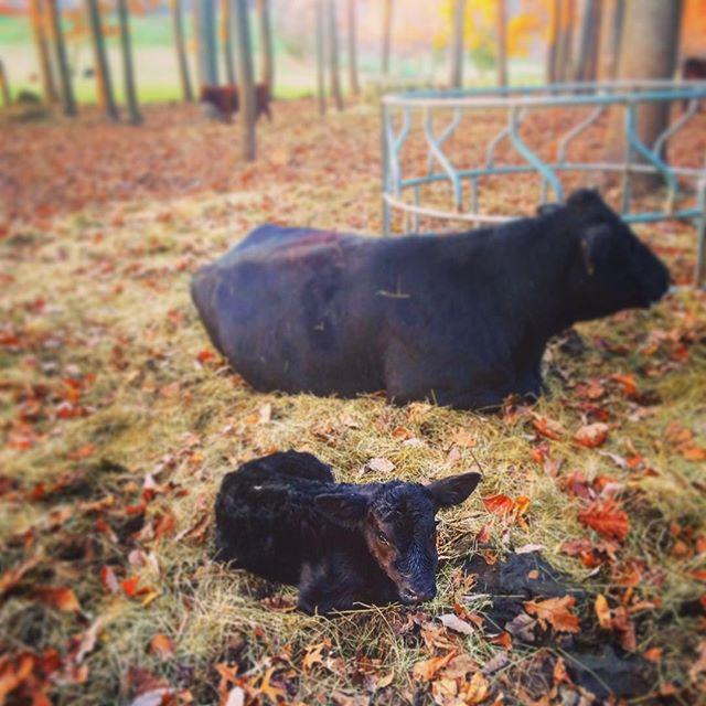 It's a boy!  We had our 6th and final calf today on the farm!  Send us suggestions for his name.  #jakeslegacyfarm #farm #local #buylocal #november #fall #cow #cows #cattle #field #grassfed #grassfedbeef  #farms #farmlife #farmer #mdfarm #mdfarms #maryland #marylandfarm #marylandfarms #visitmaryland #mdinfocus #harfordcounty #harfordcountymd #farmtotable #farmtofork #beefcattle #marylandbeef #beef #steer