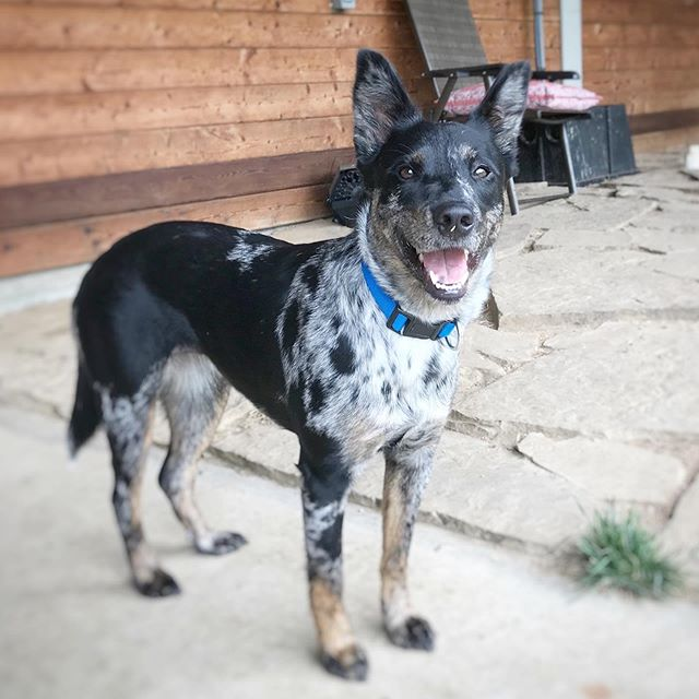 This precious little girl needs a home.  She's very calm and sweet and smart.  Reach out if interested and I will put you in touch with the foster.  She's boarding with us while her foster is out of town and she's been such a pleasure!  #rescuedog #adoptme #fromstraytostay #cattledog