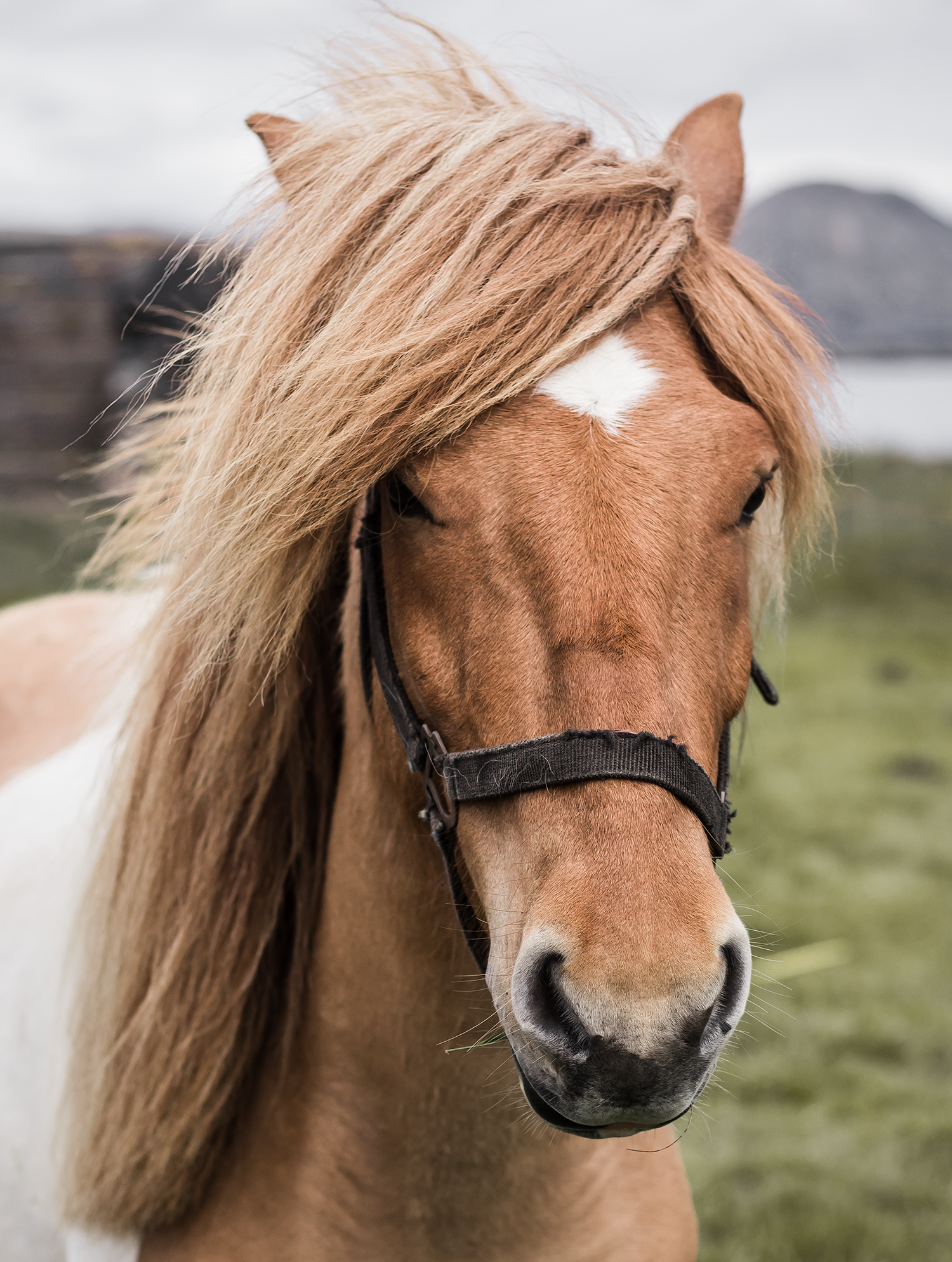 iceland-horse.png
