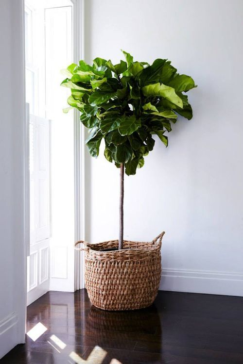 Fiddle Leaf Fig Tree: A little tough to take care of, but creates a wonderful pop of vibrancy and energy to an indoor space.  Used more for visual purposes.
