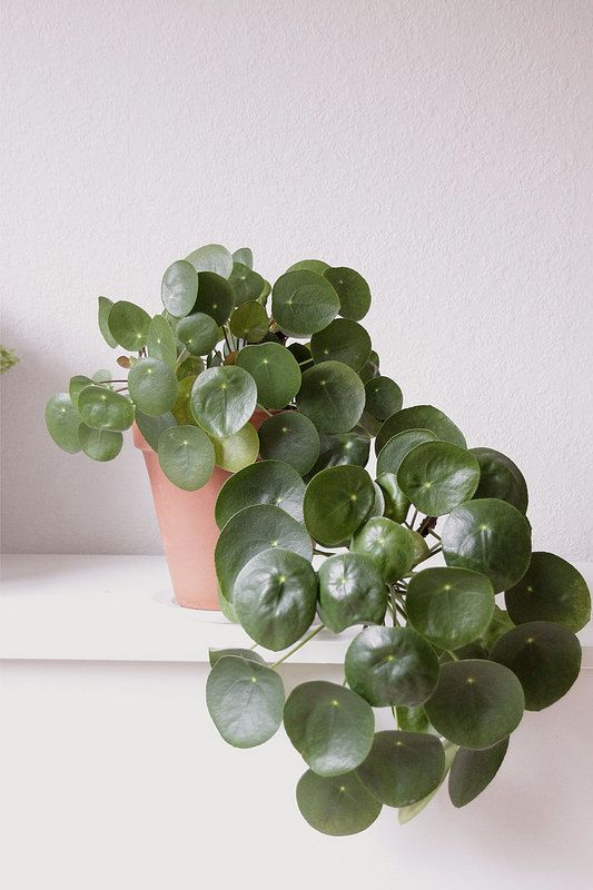 Chinese Money Plant: Said to be a sign of luck & happens to be a fabulous air purifier!