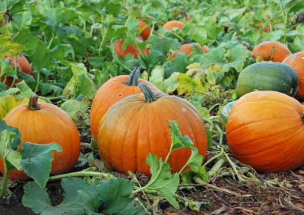 via: Petaluma Pumpkin Patch