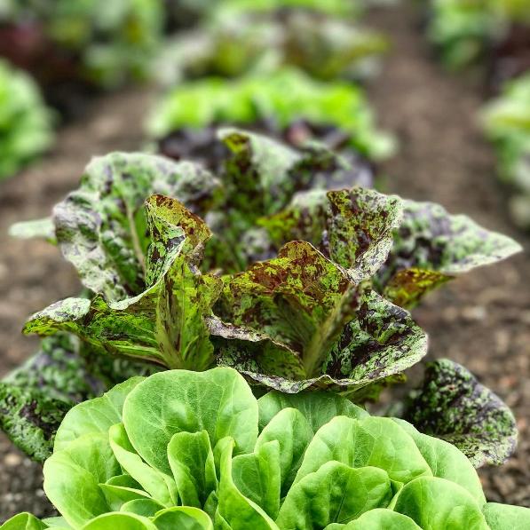 GE Lettuce.PNG