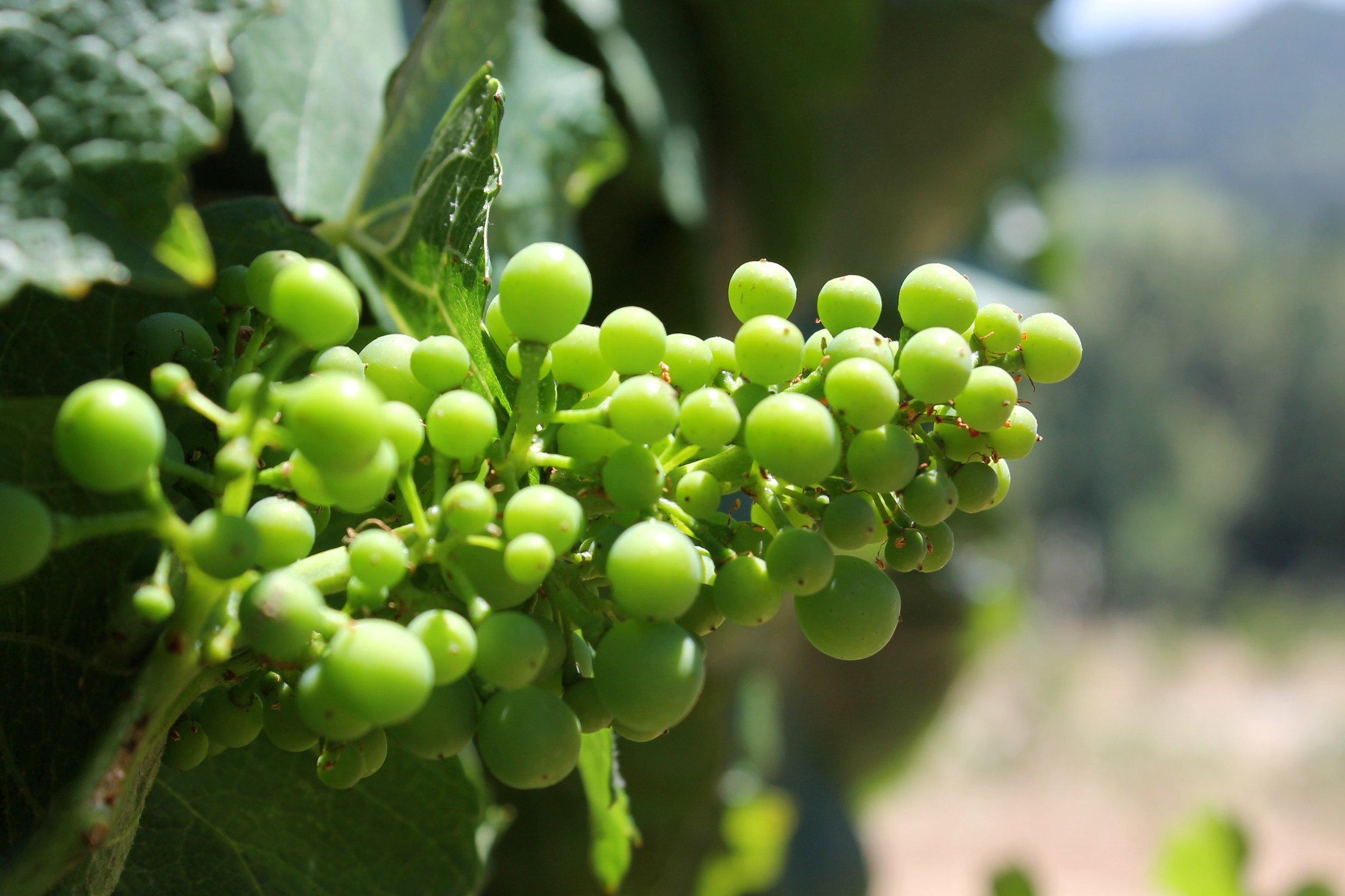 Alder Springs Vineyard in June.JPG