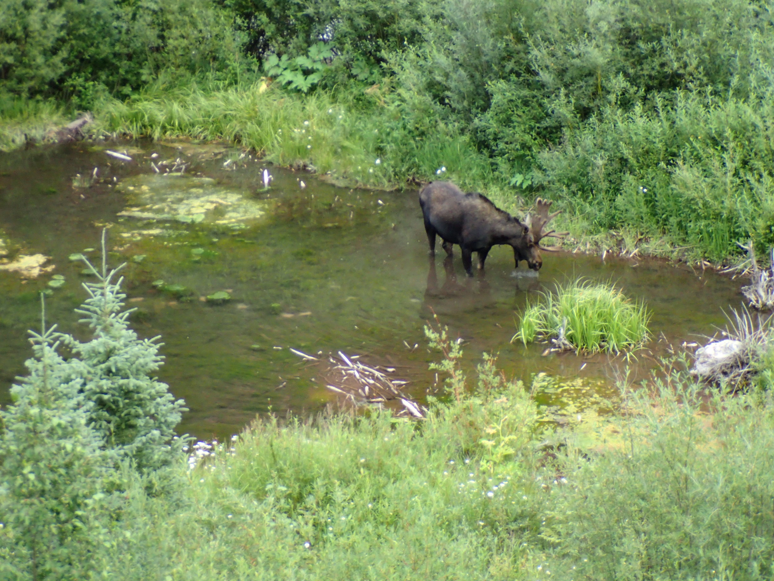 My first moose sighting! It was prime time because we were super close, but safely above on the road. Watched him for five minutes hang out and drink the creek.