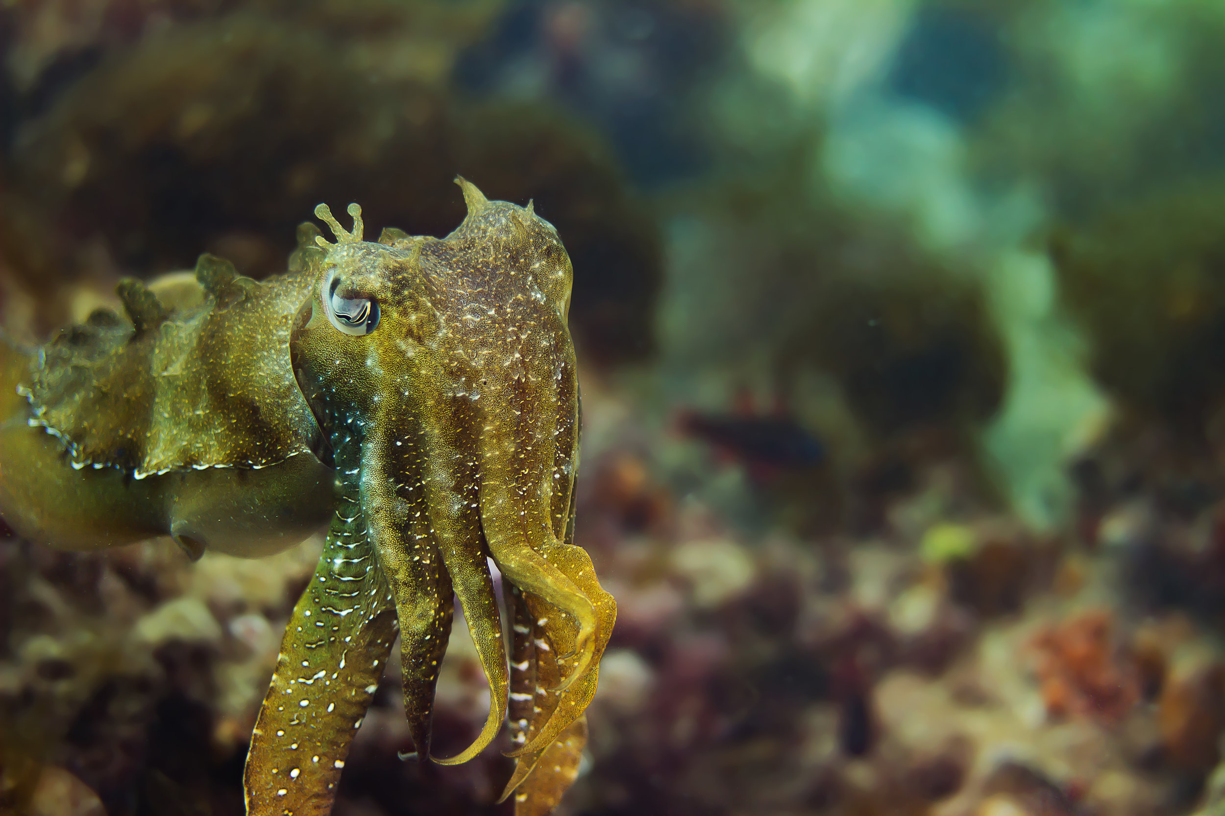 A Giant Cuttlefish