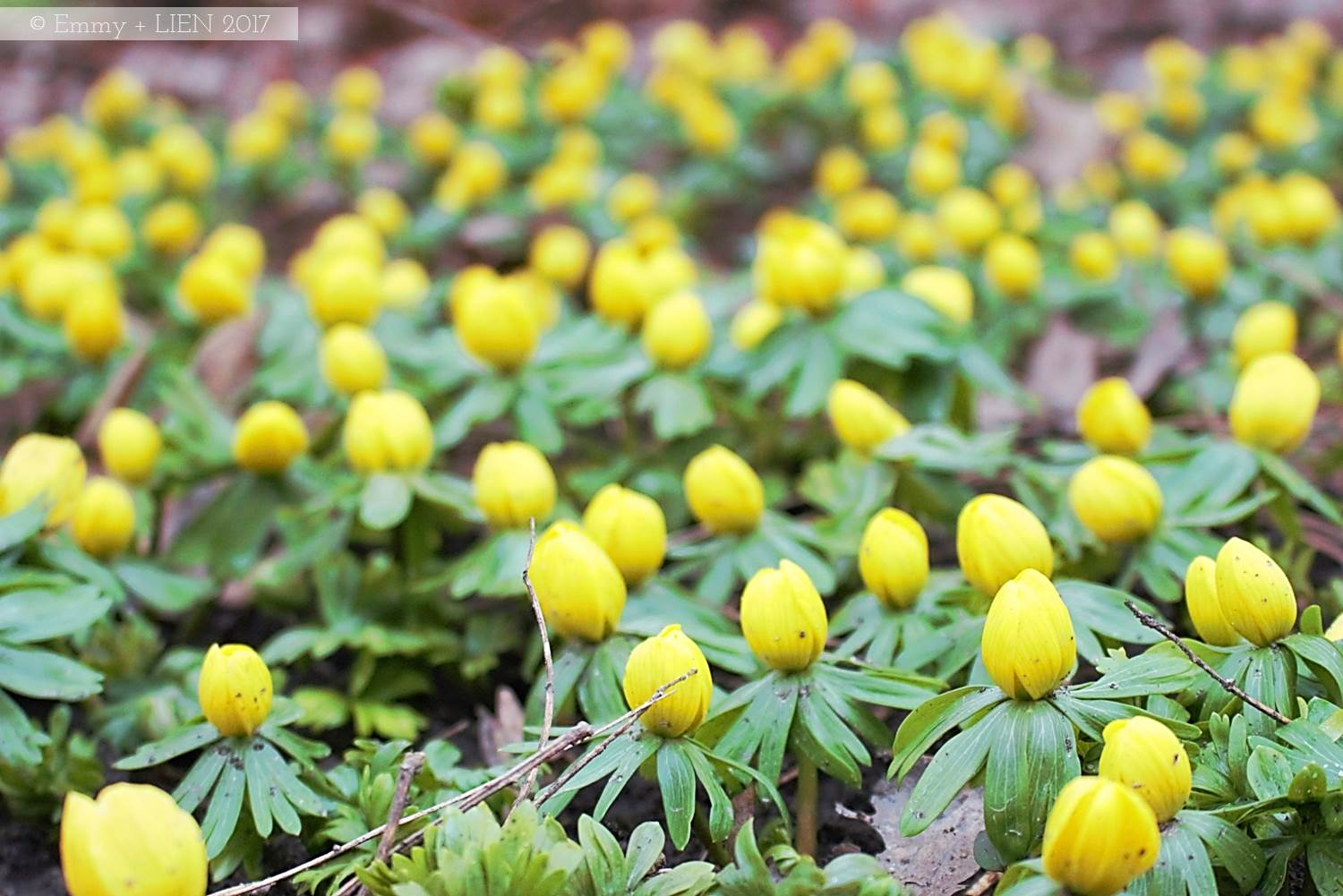 Winter aconites in Sweden