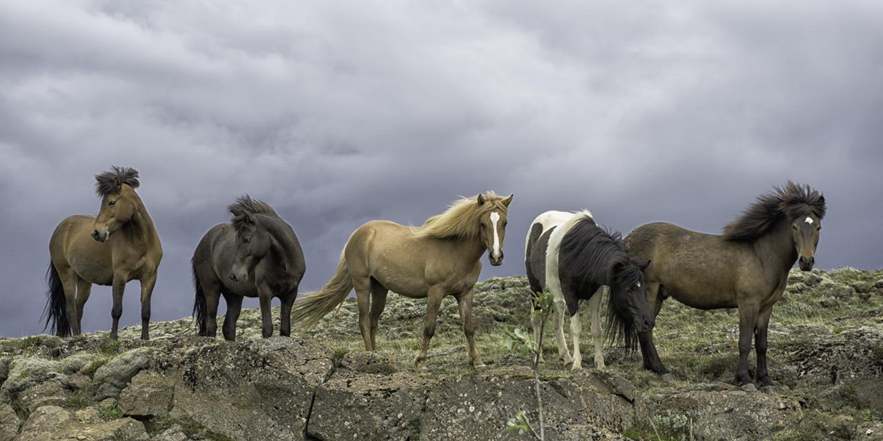 4-Icelandic_Horses.jpg