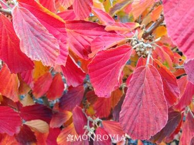 Witch Hazel 'Arnold Promise '
