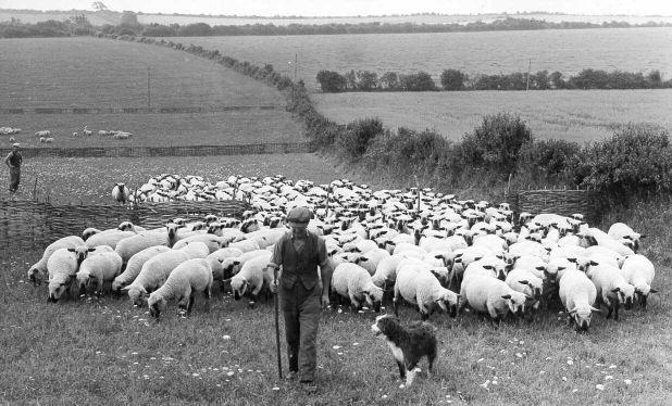 moving hurdled ewes ~ old j.jpg
