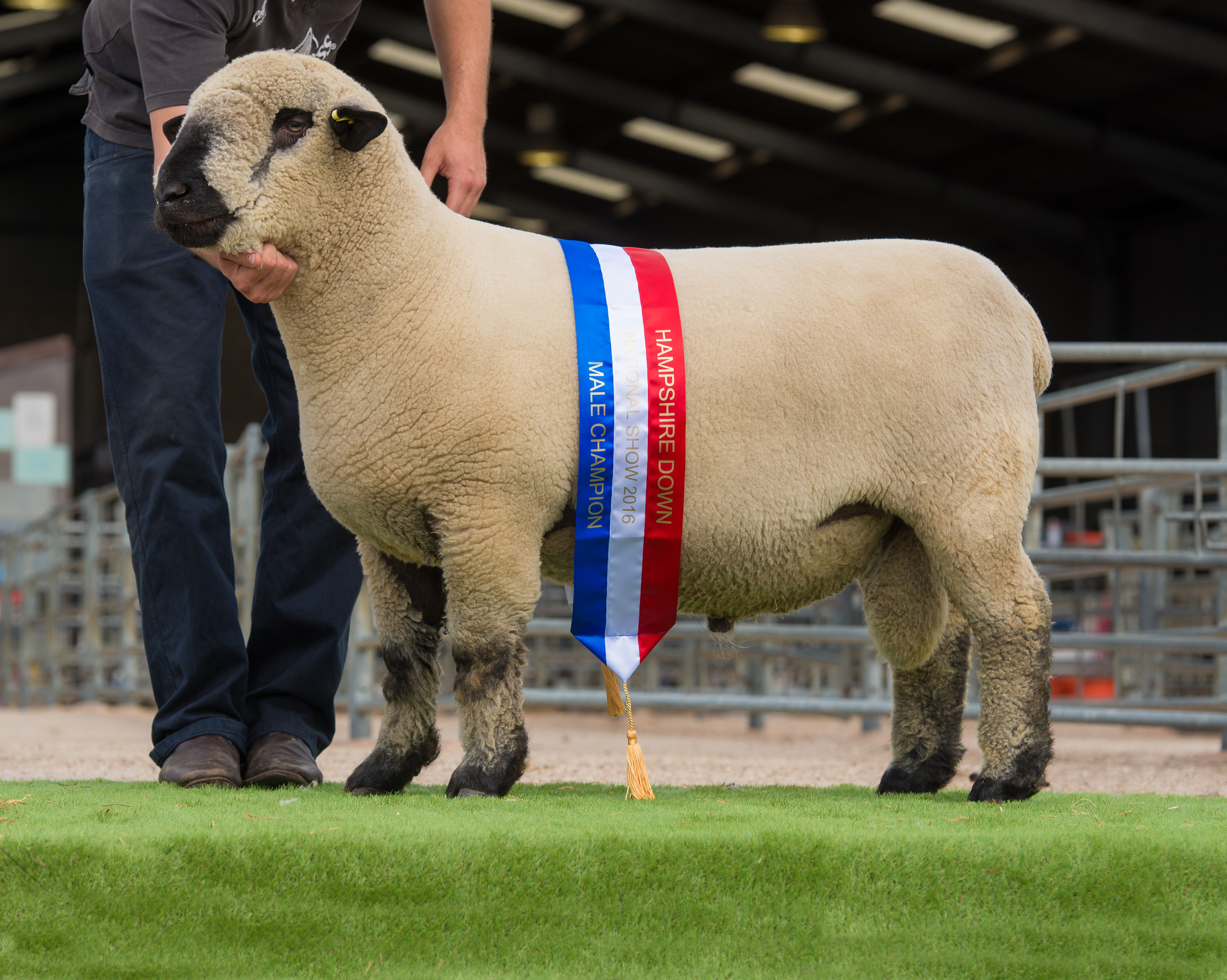 Breed Champion. Shearling Ram from EAST FORTUNE