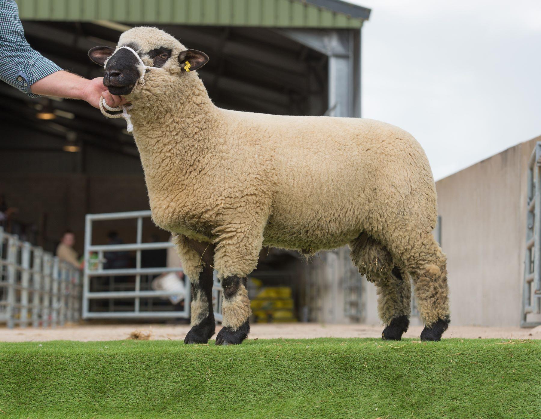 Top Price Ram Lamb from Mr & Mrs J Birkwood Lot 90.jpg