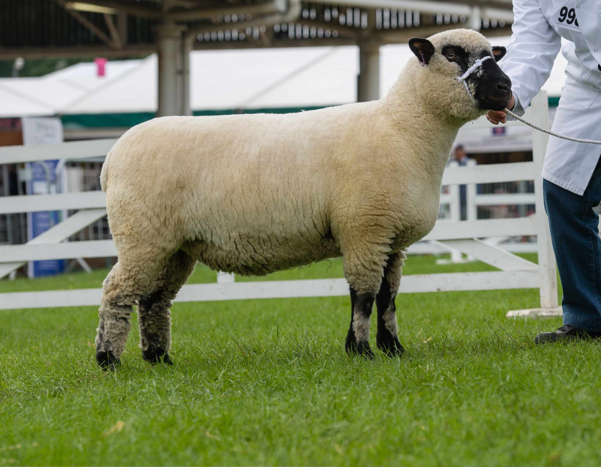 Reserve Breed Champion: Shearling Ewe from WILSTROP