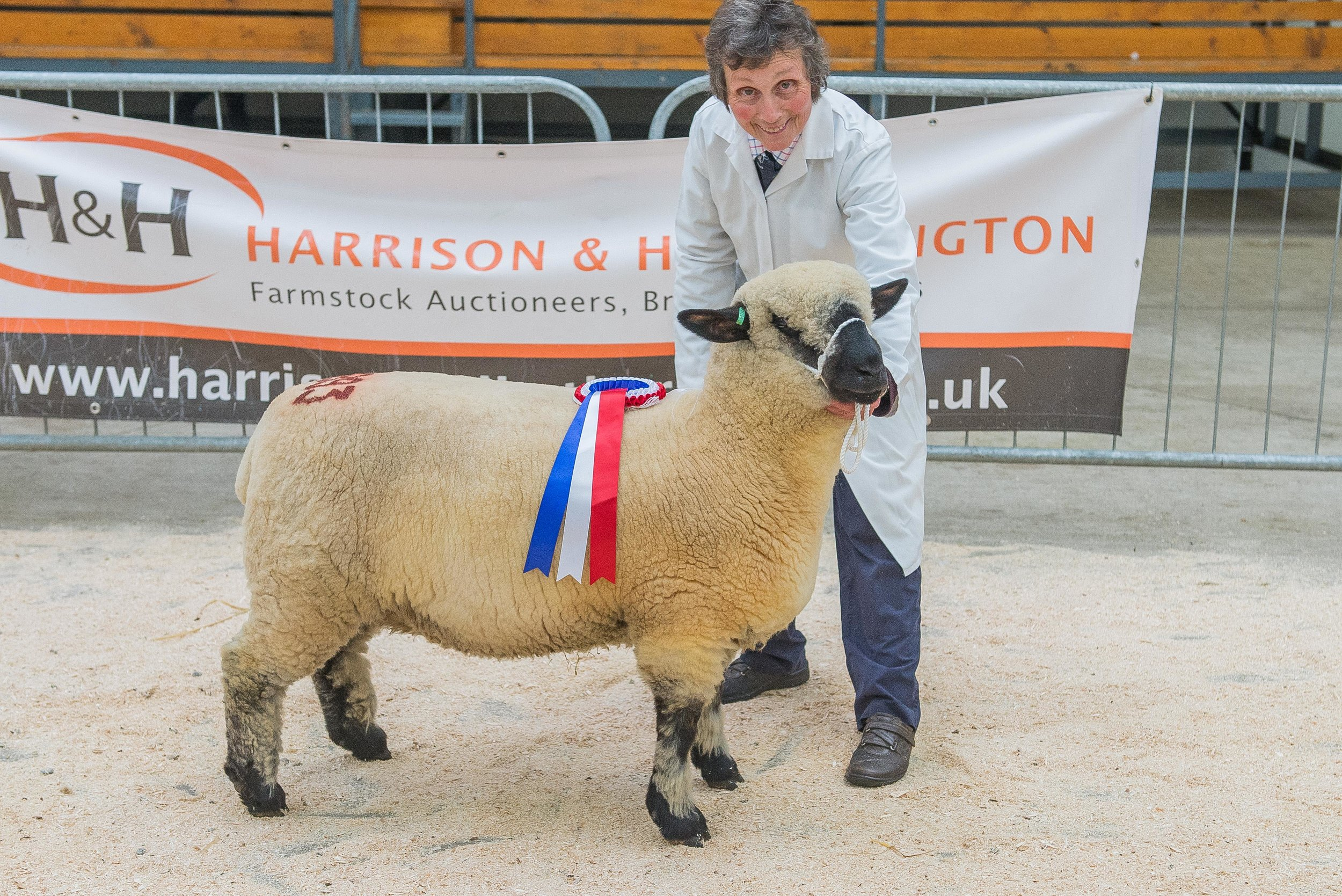 Carlisle Hampshire Down Female Record-breaking 2000 gns Ewe Lamb from Maes Glas
