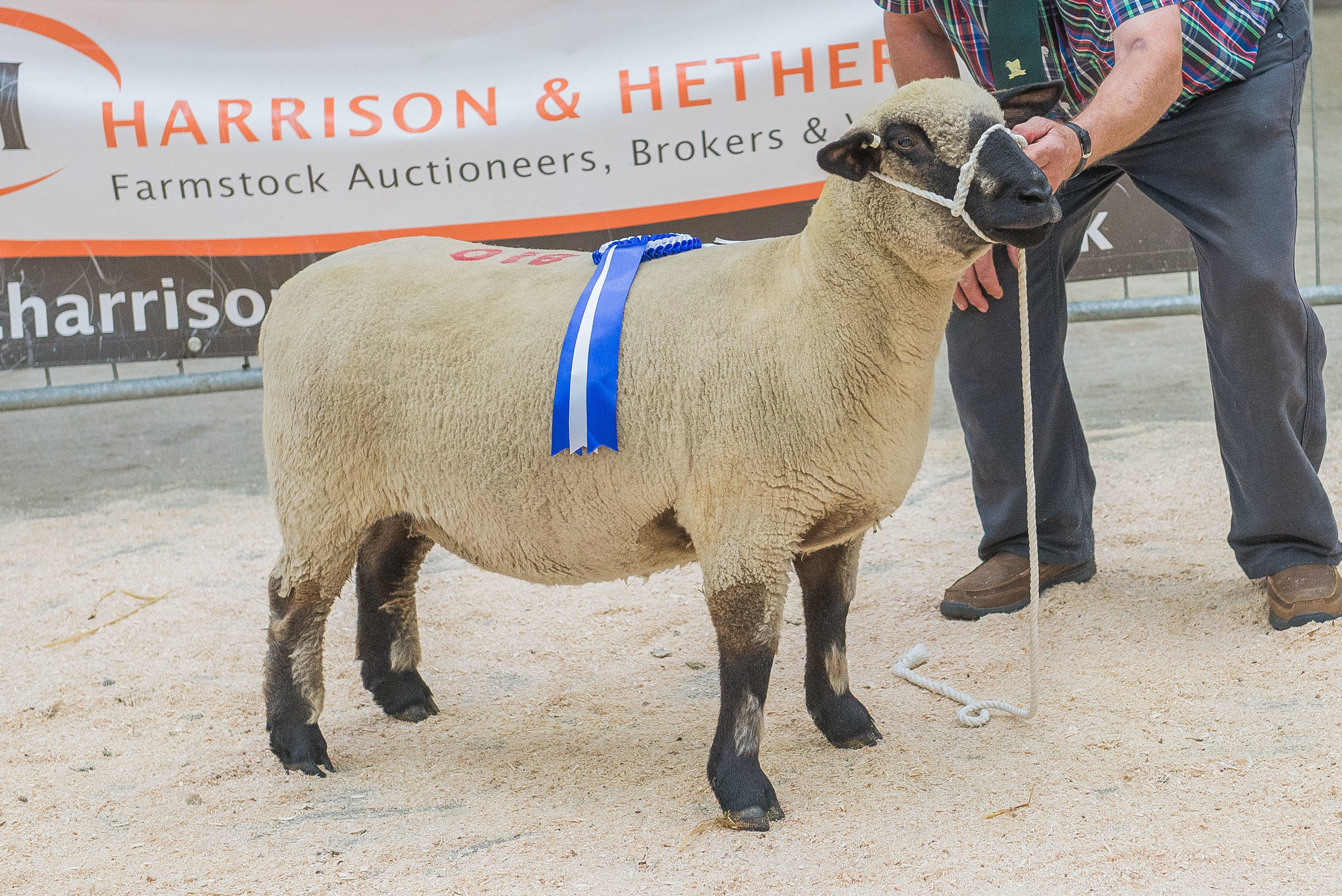 Reserve Champion, one-crop ewe from E J Cresswell's Wattisfield Flock, by Westland Domino