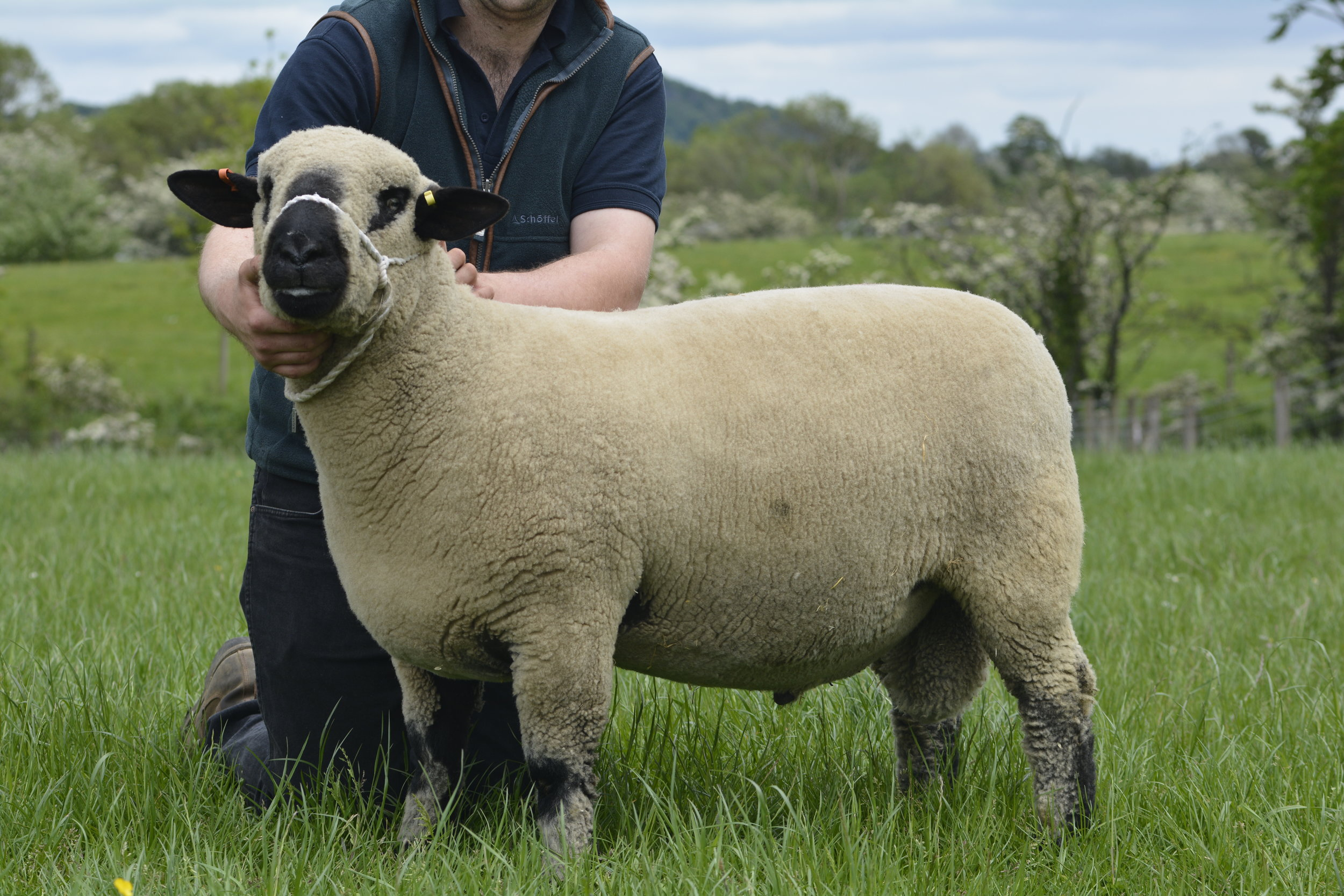 650gns - Top Priced Shearling Ram from D Middleditch & Son's ST PAUL flock.