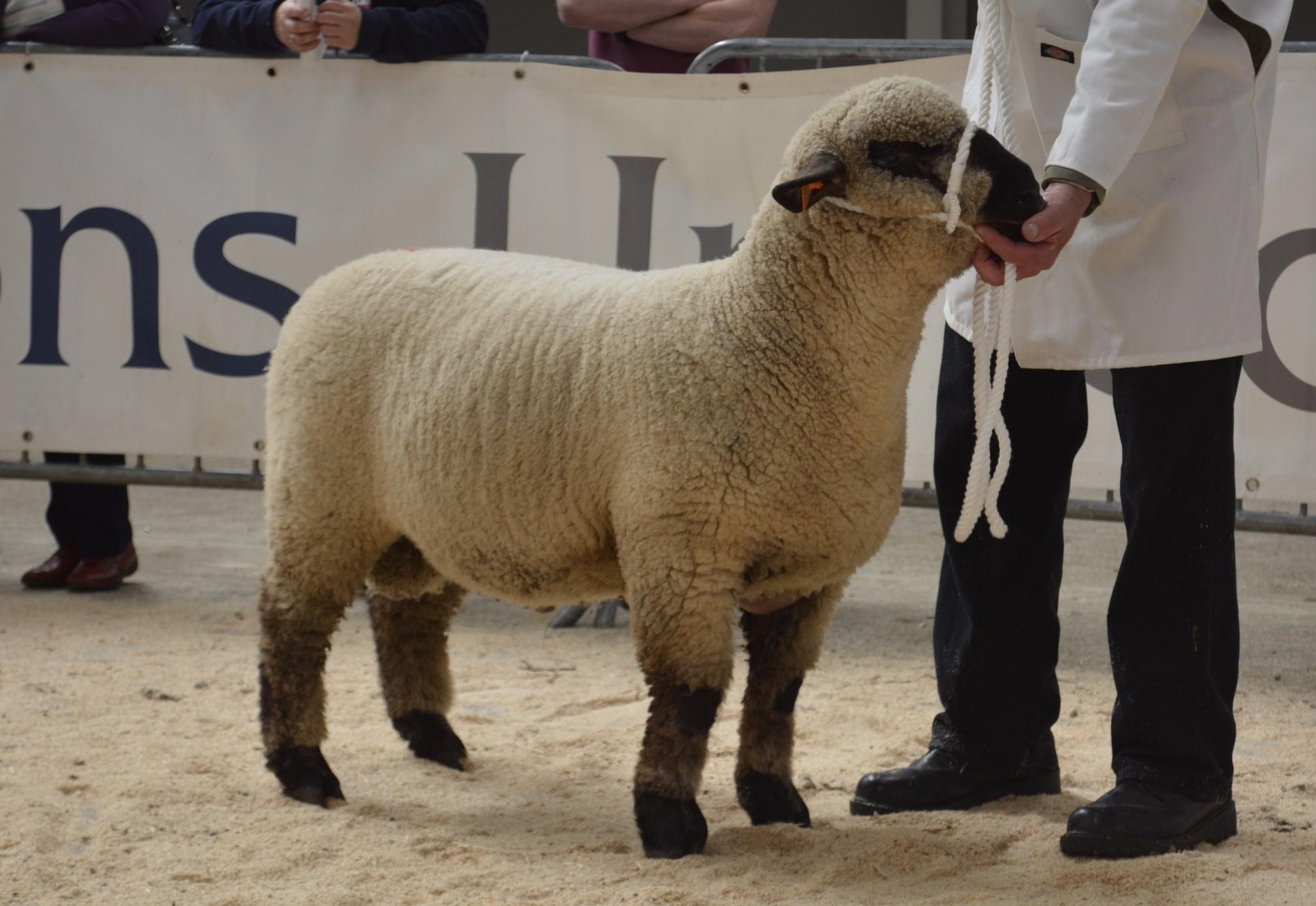 1st Prize Ram Lamb - Helen Shepherd, CALLANDER