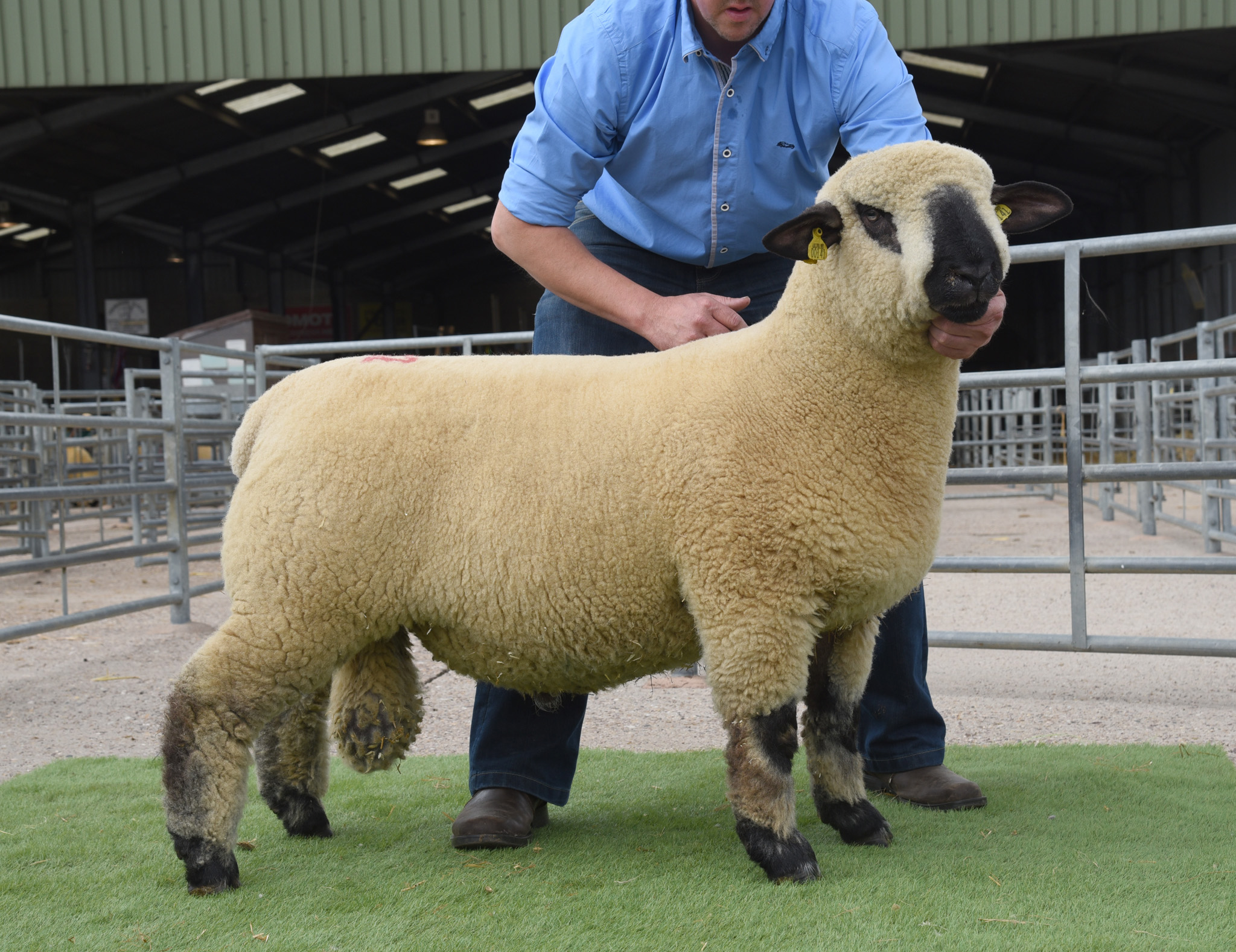 Ram Lamb, 1500gns, from McFadden, ASHLEY