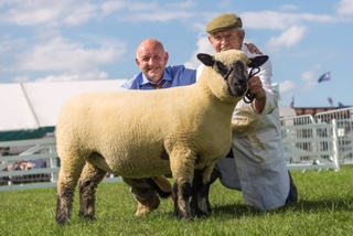CHAMPION - Shearling Ewe from HOLM FLOCK