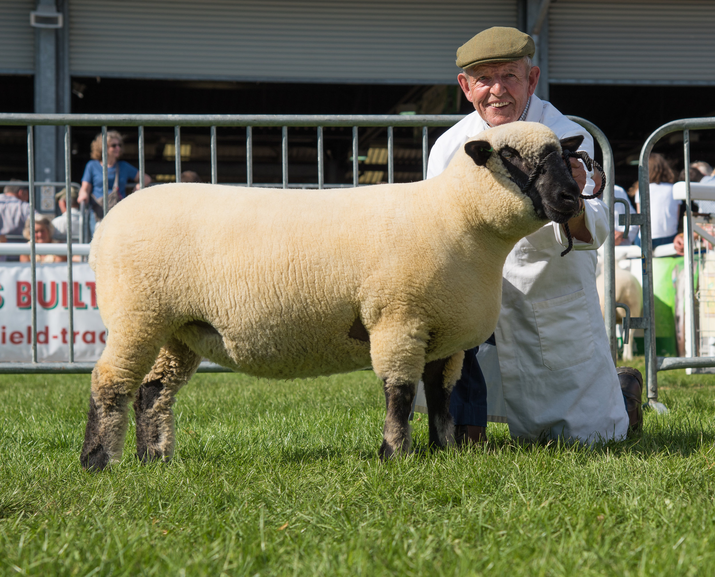 BREED CHAMPION, Shearling Ewe from Cormack & McDowell, HOLM