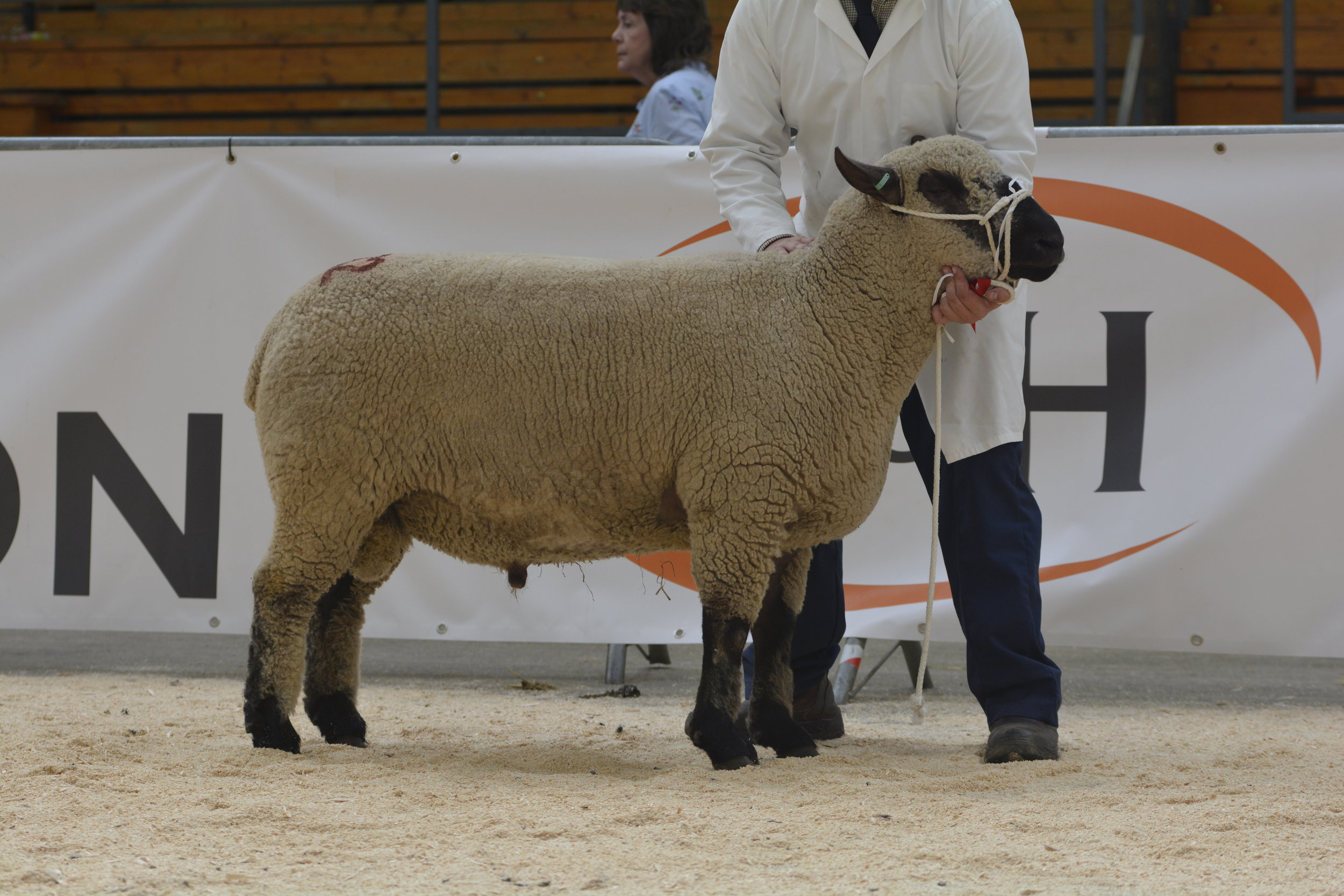 1st placed Shearling Ram from E & B & SA Jones, MAES GLAS by Maes Glas Musketeer