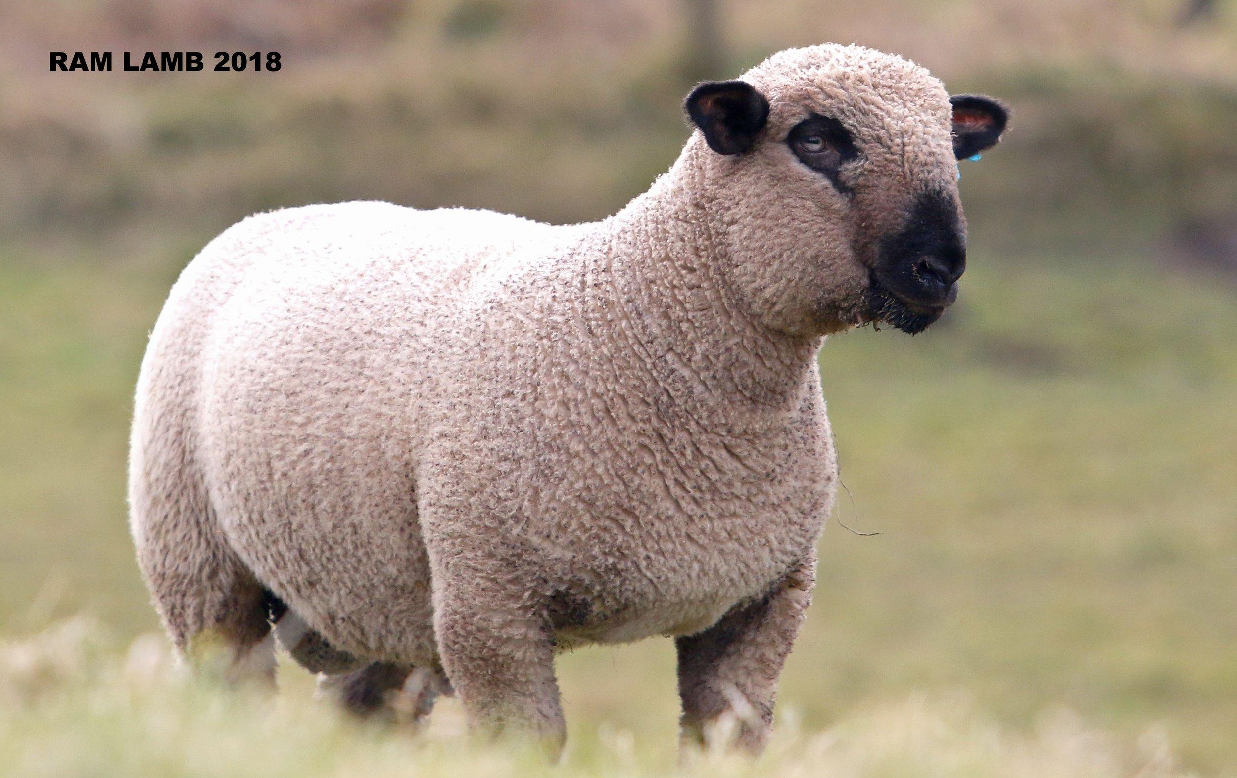 Eldron Ram Lamb