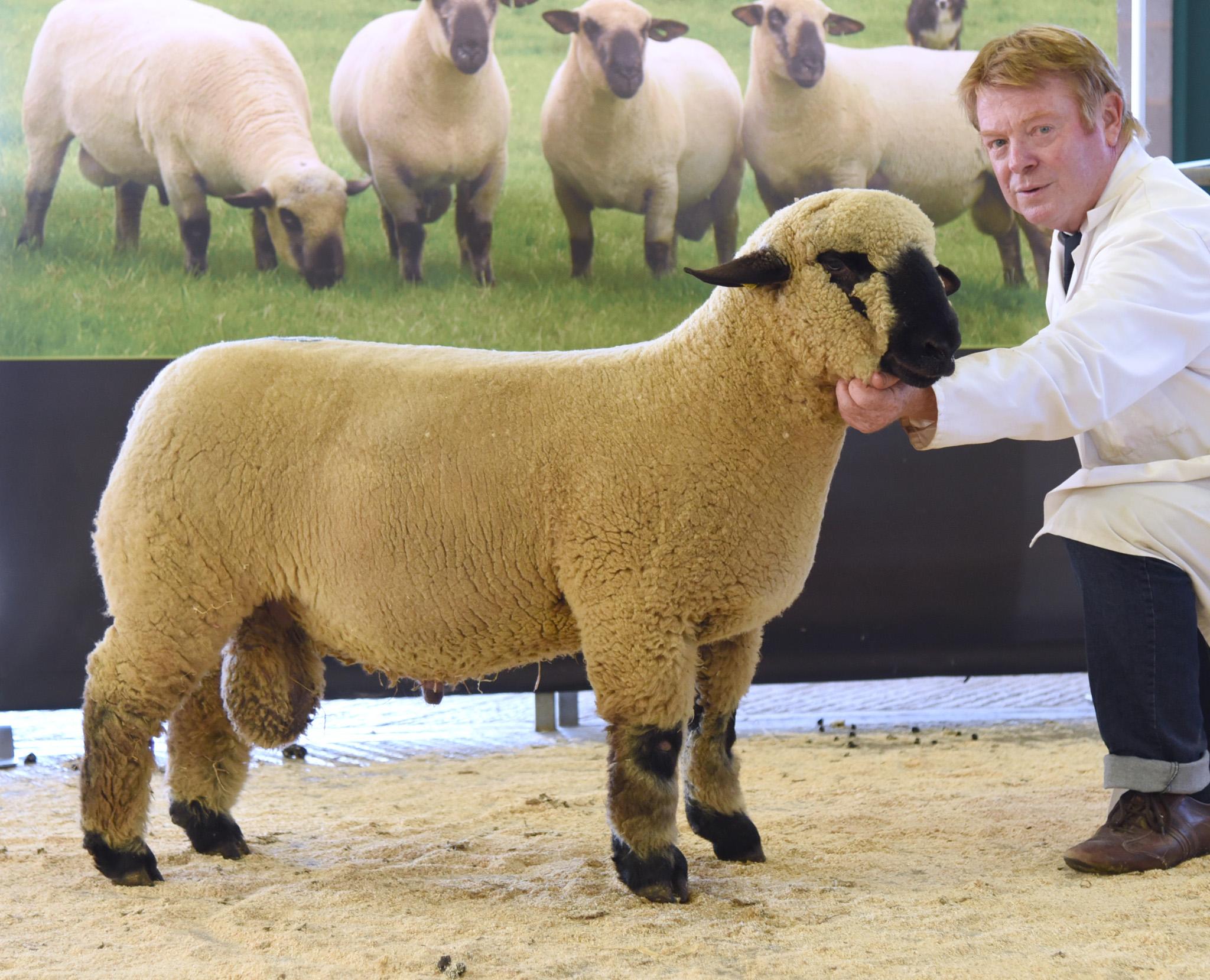 Hamp Ram lamb_edited-1.jpg