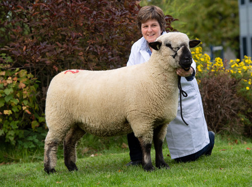 SHOW CHAMPION FROM J & G GALBRAITH, GRAYLEN FLOCK. A SHEARLING EWE BY YARCOMBE ICEMAN, IN LAMB TO MORLEY KUDOS AND SOLD TO HOLLAND FOR 850 GUINEAS