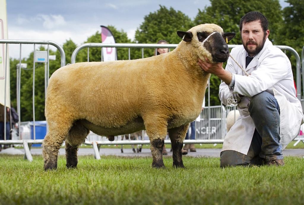 Hampshire-Shearling-Ram-0217.jpg
