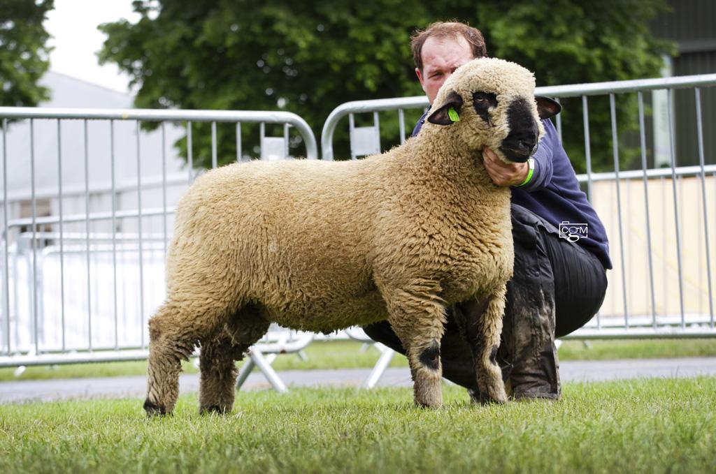 Hampshire-Untrimmed-Ram-Lamb-Middleditch-0139.jpg
