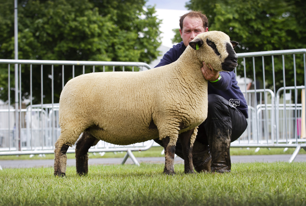 Hampshire-shearling-ewe-Middleditch-0183.jpg