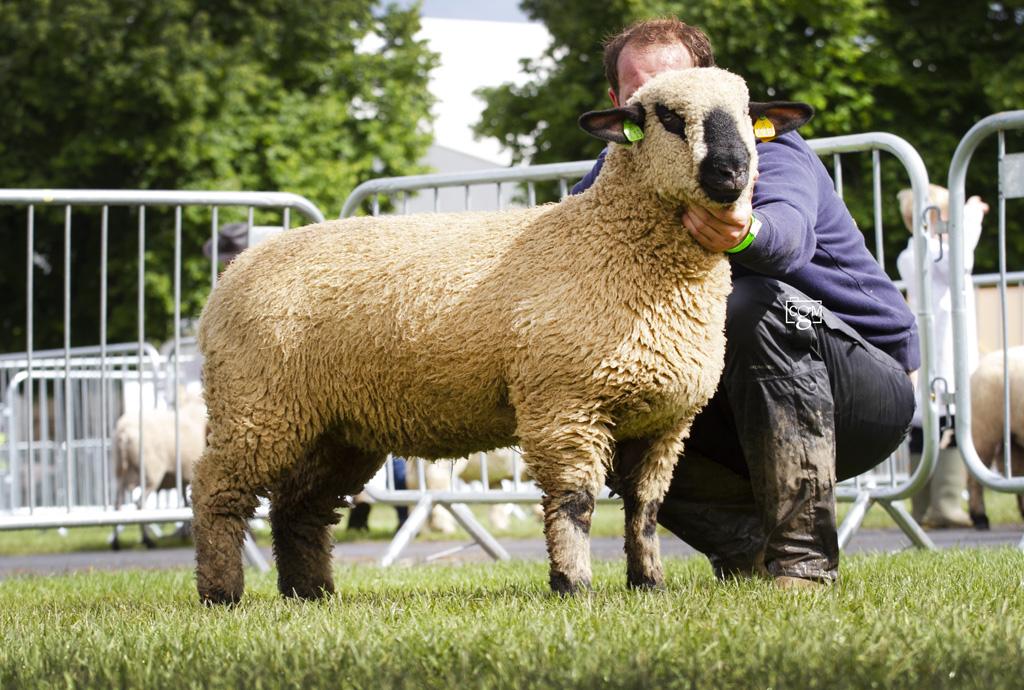 Hampshire-Untrimmed-Ewe-Lamb-0244.jpg