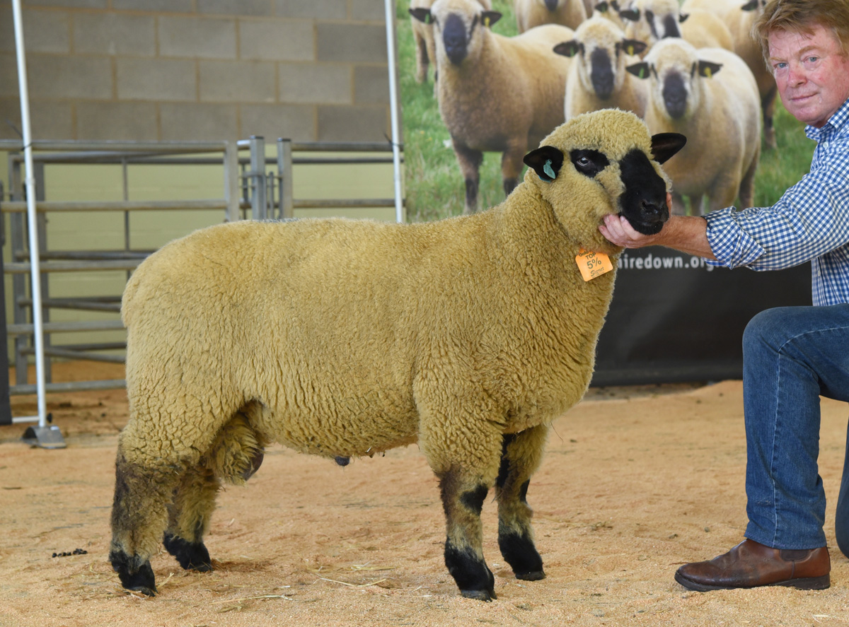 Lot 48 Ram Lamb 1550 gns BALLYCREELLY 54S1901044 by Ballycreelly 007 out of a homebred ewe. Sold to P J Tully, Bridgwater, Somerset