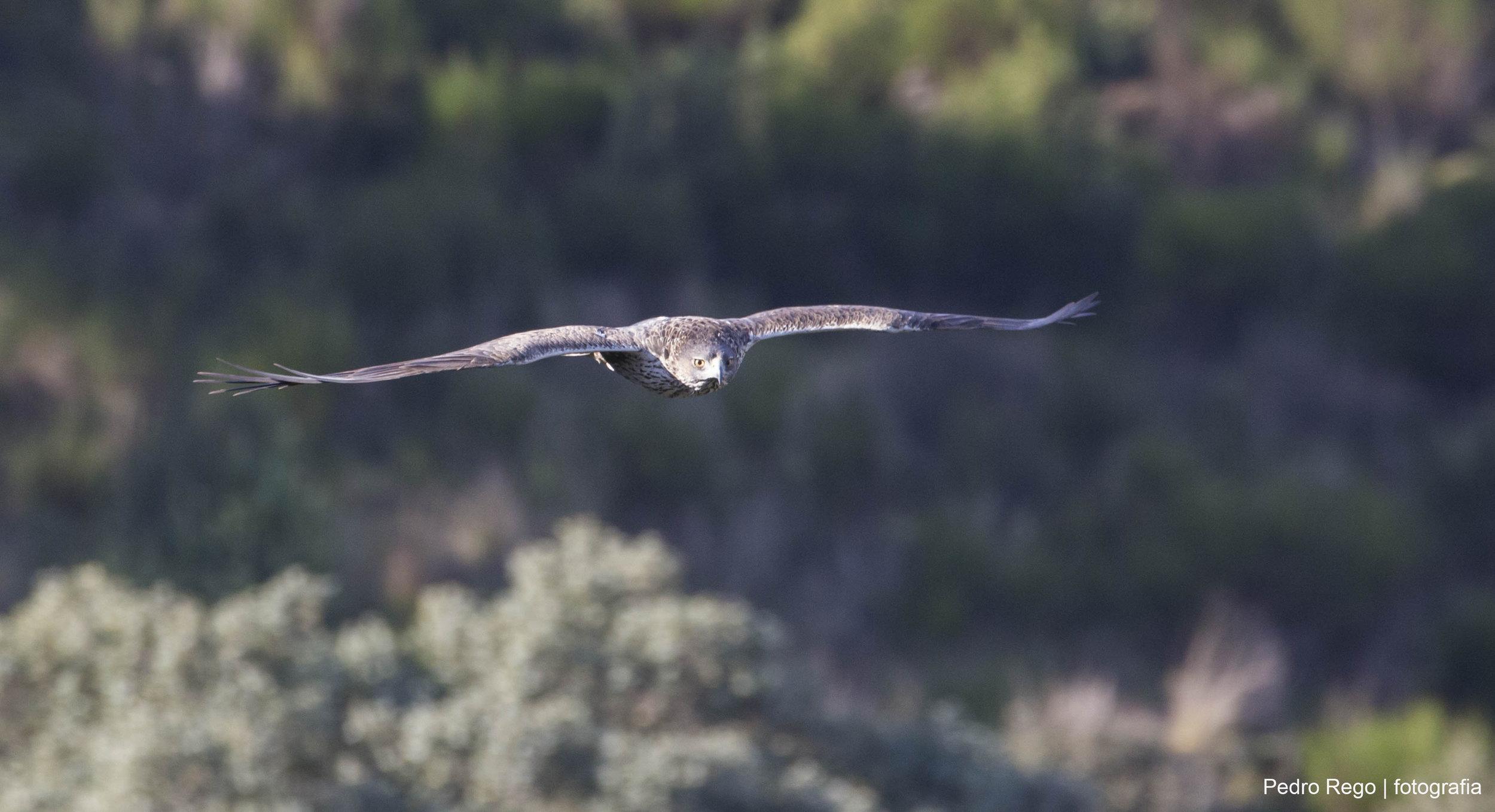 Águia-perdigueira ( Aquila fasciata)