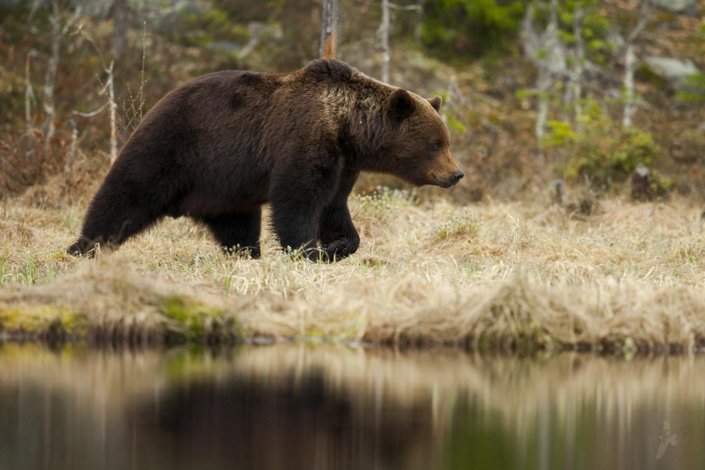 Urso-pardo | Fotografia APG