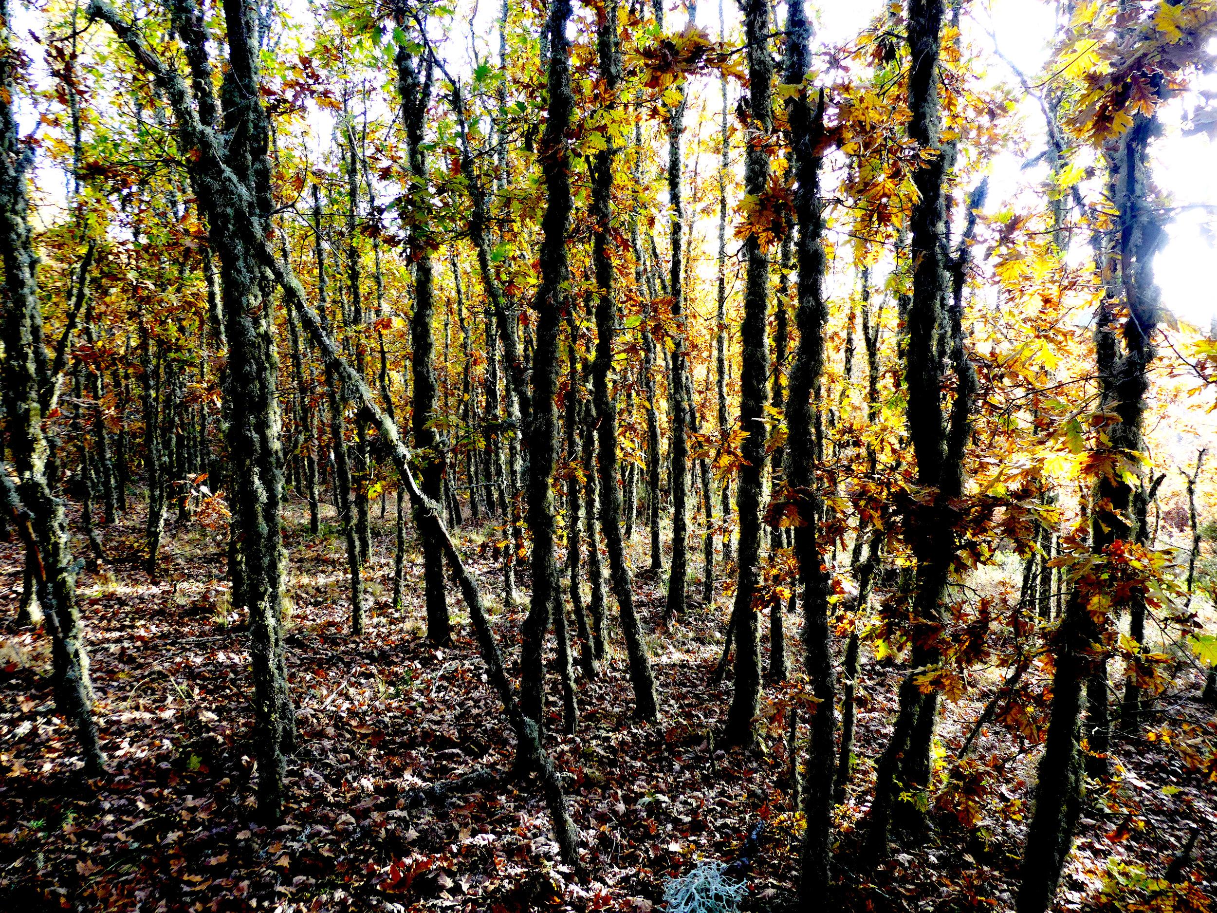 Bosque de carvalho-negral.