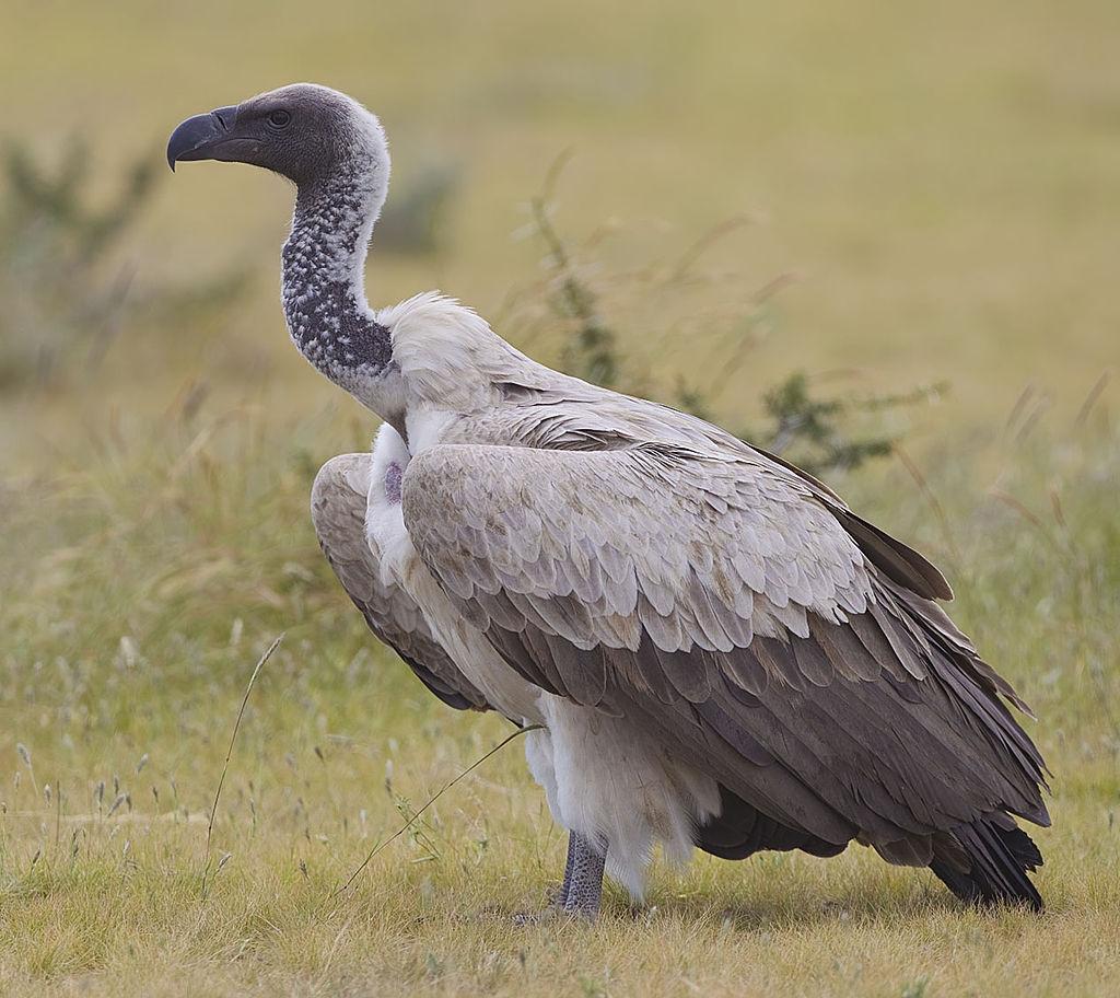 Grifo-africano (Yathin sk/WikiCommons)