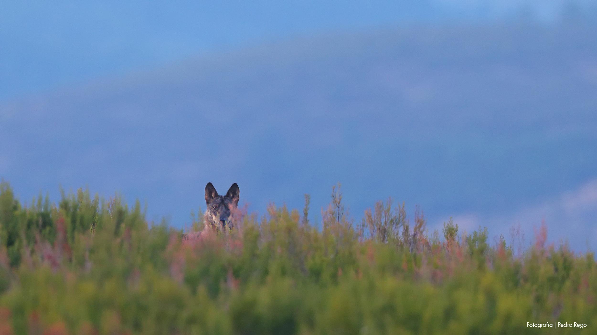 Lobo-ibérico. Fotografia | Pedro Rego