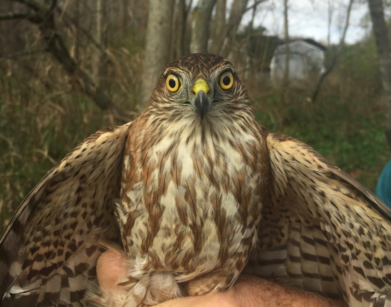 Female juvenile sharpie caught and banded today!