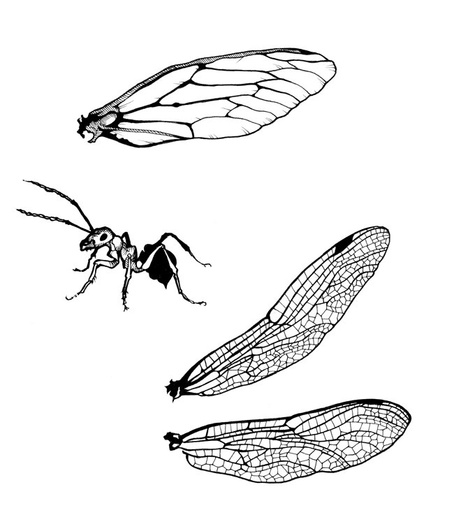 insect-wings-ant-650.jpg