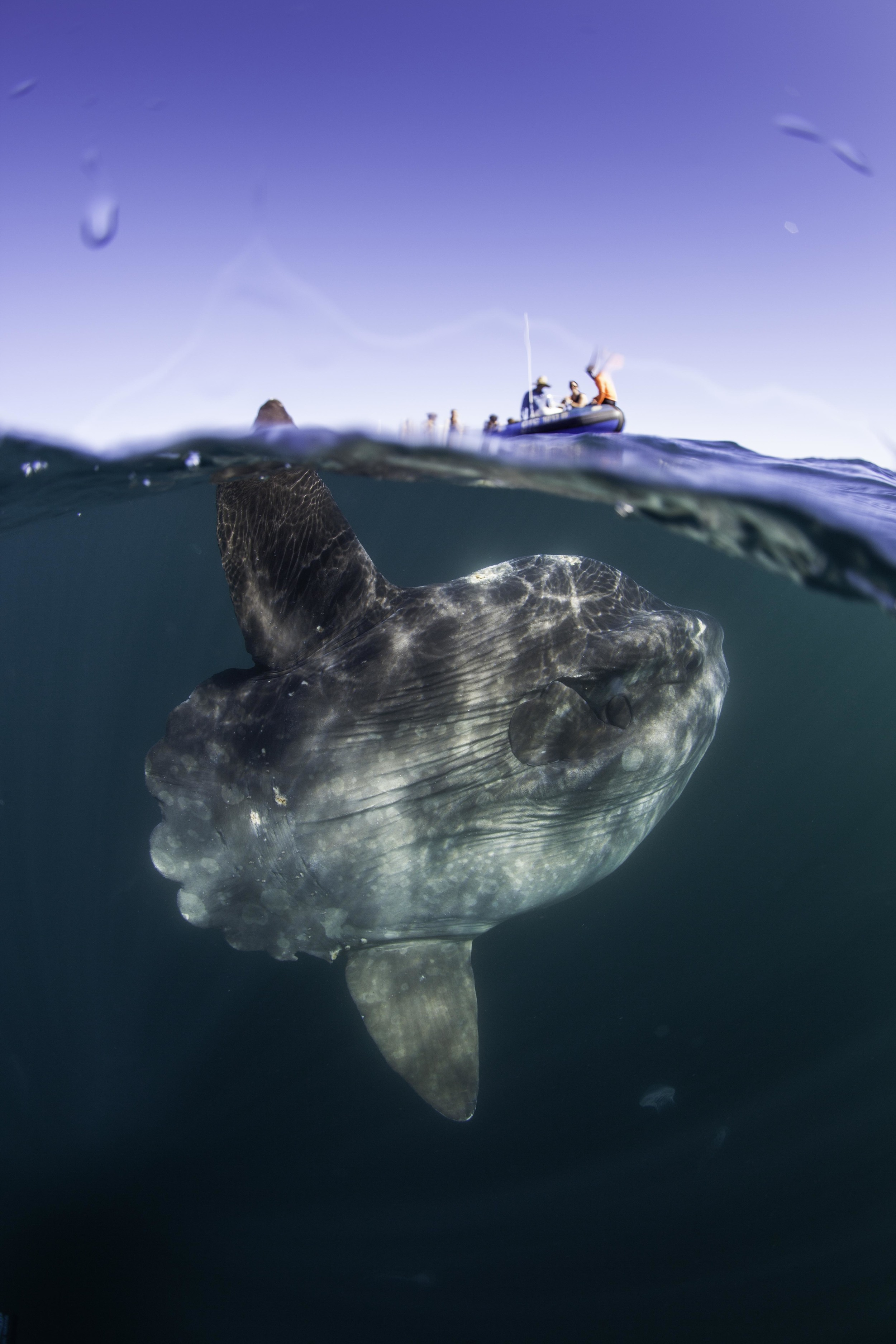 Here a Mola Mola, or Sunfish swims right past the Animal Ocean dive boat in Cape Town. Being still in the water and using no artificial light Peter was able to spend an unusually long time in the water with this large fish.  Photographer: Peter Marshall / I AM WATER Peter and lemon shark: Courtesy Raoul Benoit
