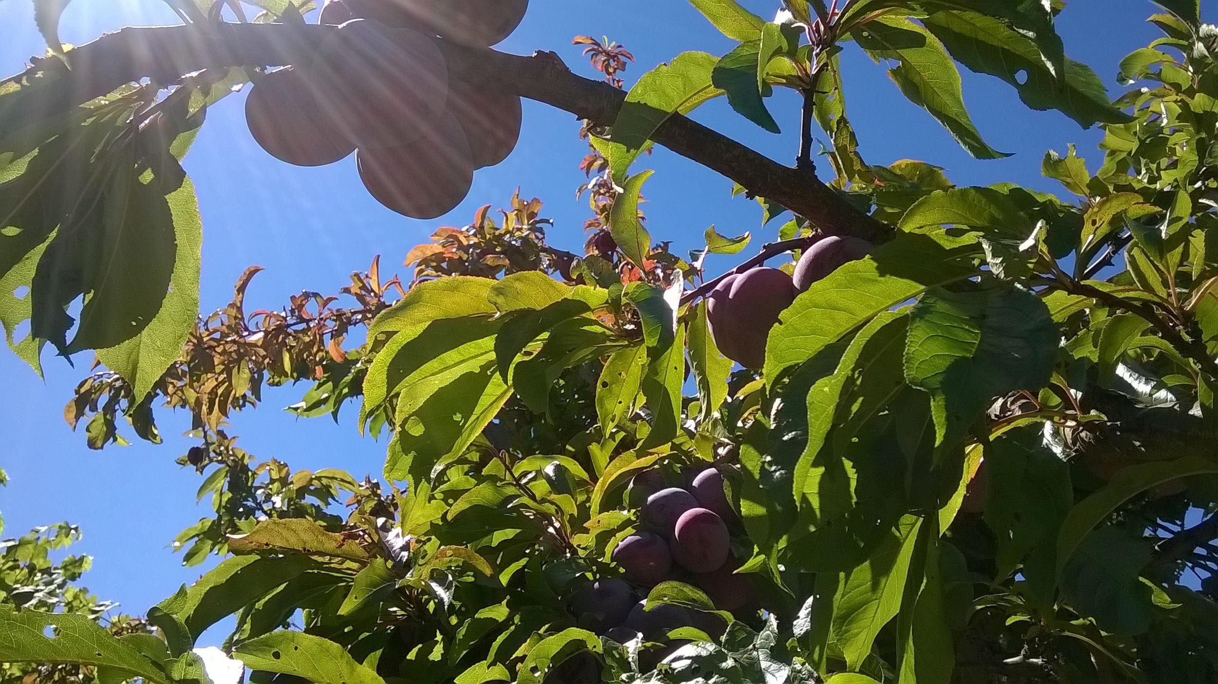vashon plums.jpg