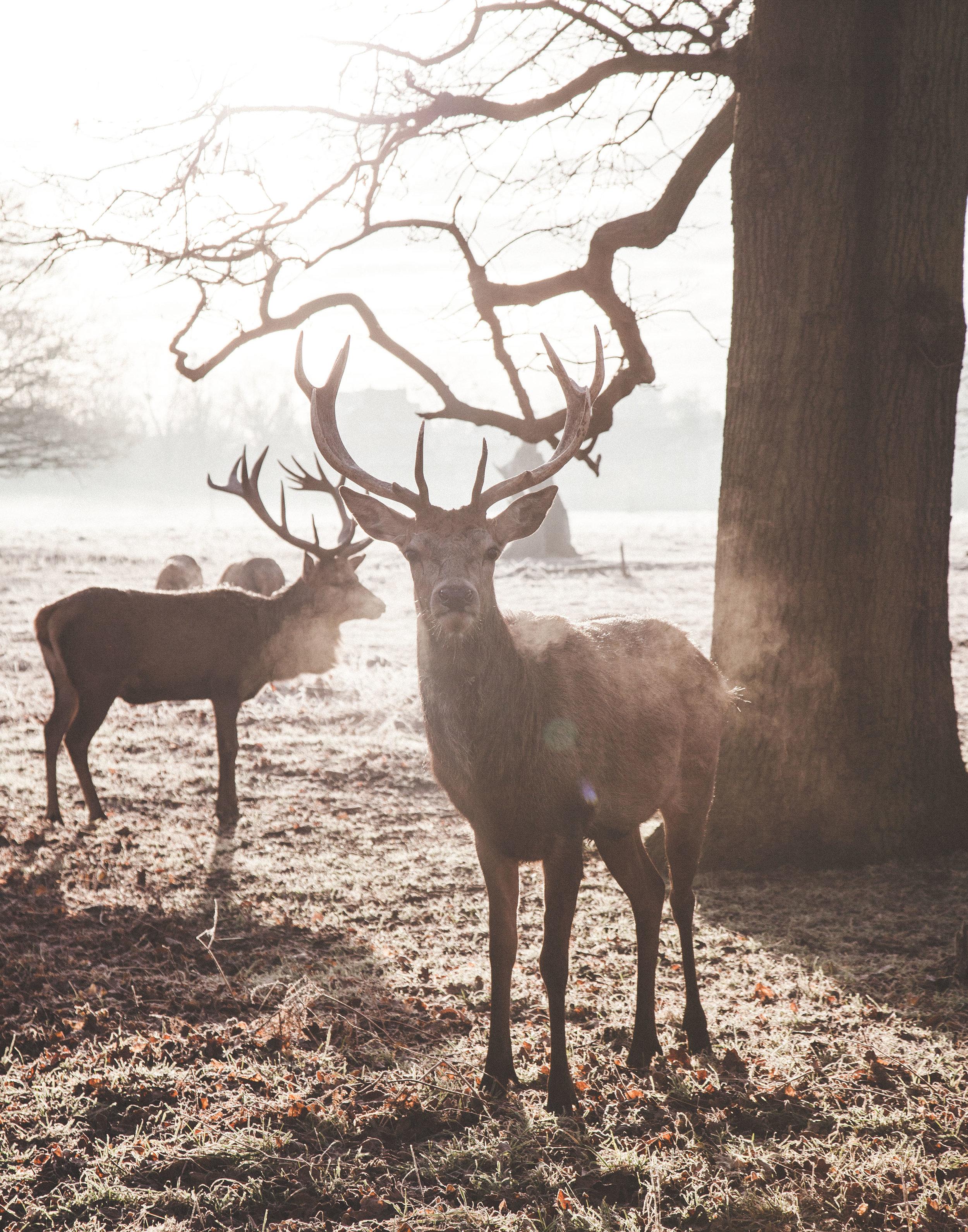 Morning Deer.jpg