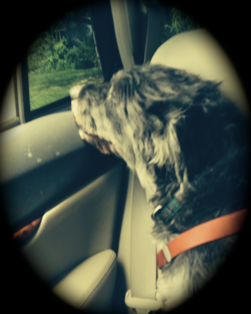 Like any senior gentleman, Stanley P. enjoyed a daily drive through the country with the breeze in his hair.